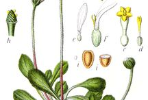 * Botanical prints *