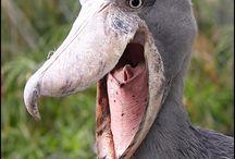 пеликанчики:)
