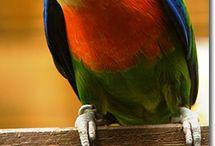 Cyclopsitta / Il genere cyclopsitta, detto anche opopsitta, comprende due specie di meravigliosi pappagallini di piccola taglia che, insieme al genere psittaculirostris, costituiscono i cosidetti pappagalli dei fichi, così denominati a causa dell'estrema golosità che manifestano verso questi frutti. http://www.pappagallinelmondo.it/cyclopsitta.html