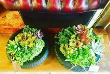 Succulents in pots / Succulents, pot, design