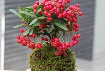 kokedama a bonsaje