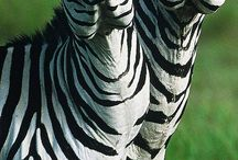 Zebra crazy