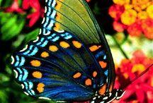 borboletas lindas