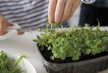 A Healthy Kitchen: Kitchen Gardening
