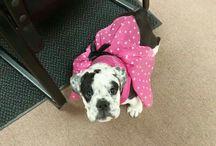 Roxy the Grumpy Olde English Bulldogge / Photos of my big beautiful bulldog Roxy.