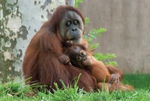 Year of the Orangutan / Philadelphia Zoo has declared 2012 the Year of the Orangutan! Learn how you can help save these magnificent creatures from extinction by visiting our website, or the zoo all year round! / by Philadelphia Zoo