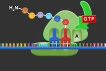 syntéza bielkovín