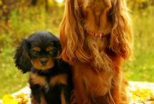 King Charles Cavalier - such royalty