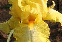 iris çok güzel