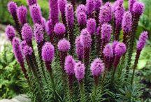 сад цветы лиатрис