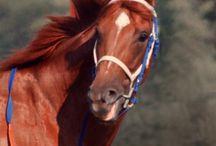Chevaux / Mon amour pour les chevaux même si je n'en ai pas. Ma très forte préférence pour Secrétariat... Big Red!