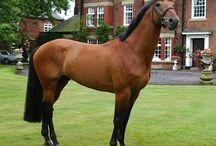 Hästraser