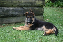 Doggy Stuff  for Tia - Our German Shepherd / Natural Rearing & Training