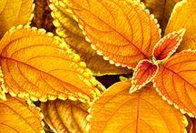 goldenplant