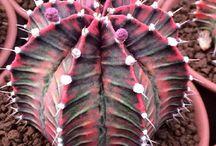 Cactus Succulent Caudex