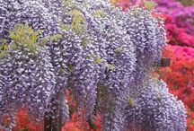 Wisteria / by Smith Rouse