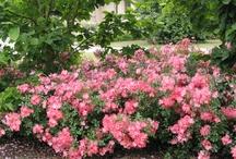 Garden - Carpet Roses