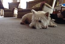 My dog sammy / This is my little west hiland whit terrirea and his name is sammy