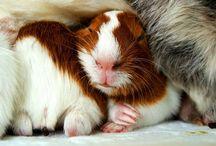 Meerschweinchen / Guinea Pigs / Ich liebe Meerschweinchen / I love Guinea Pigs