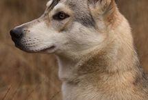 Tamskan Dogs