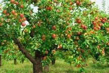 Como sembrar árboles frutales
