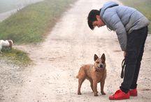 ACD Australian Cattle Dog / Australian Cattle Dog - DIngo Dog - Heeler - Redhellerdog - Cattle Dog