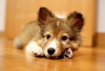 Dogs / Sheltie