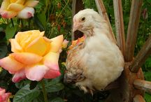 New Breeds For Northwoods Poultry Spring of 2015 / New Chicken Breeds