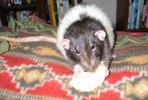I ♥ Fancy Rats! / I've had a total of 6 pet rats since 2009.  My Dumbo female Rowan gave birth to 11 babies on Easter Sunday 2013 & I'll keep 2 of them for companions for their parents, making a total of 8. They make very sweet pets! / by Christine Bode