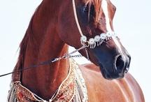 Arab horses fan