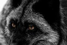 Fox #1