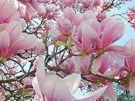 FLOWERING TREES-TREES THAT FLOWER