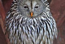 Birds- Owls