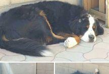 Berner Mountain Dog