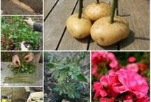 grow rose cuttings in potatoes and other cuttings