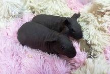 My skinny guinea pig_Yoki