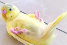 Dwerg papegaaien