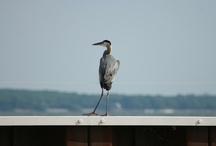 Birding along Lake Erie / Birding specific posts along Lake Erie Shores and Islands