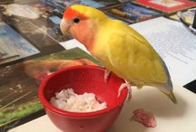 Resep Pakan Burung dari Bahan Nasi