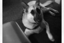 Bella dogPACER CCO