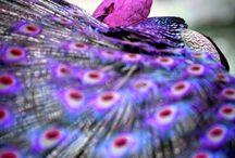 Lovely peacocks