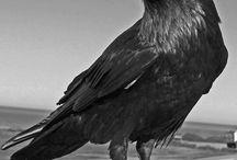 Game Research: Raven Raven