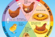 Chickens and life cycles