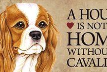 Cavalier king charles spaniel / Animals