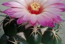 kaktusz téma