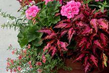 květiny na balkón a zahradu