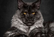 Cool Maine Coon