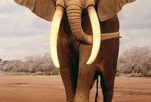 Filler elephant