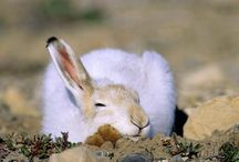 Arctic Hare/ Greenland, research / Hares in Greenland stay white all year round, but the youngsters are light brownish-whitish, still some photos from other arctic areas; still useful for illustrational research...