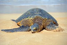 Turtle Ranger / Any and all things about Turtles, Terrapins and Tortoises!!